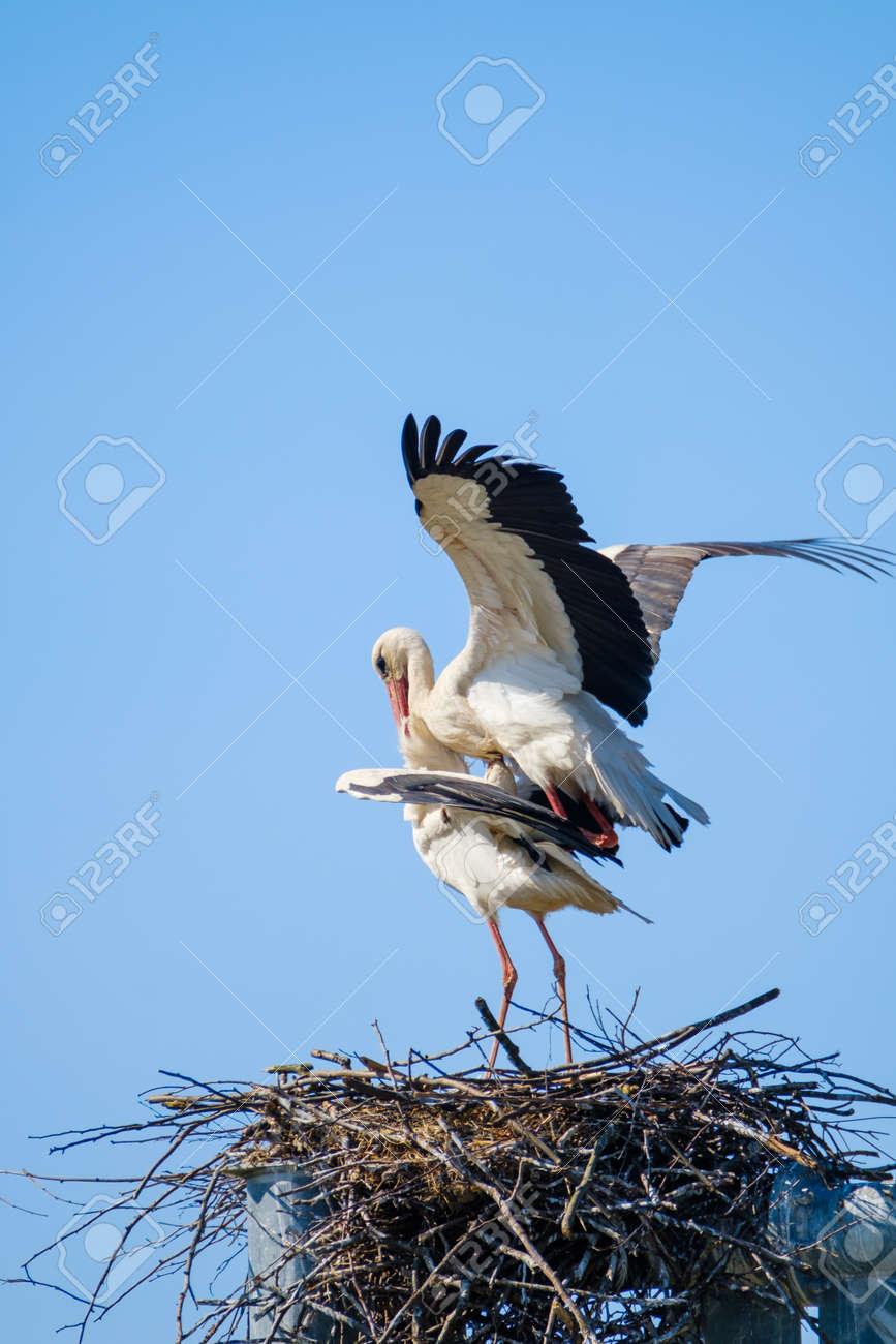 Storks mating in nest against blue sky - 170146778