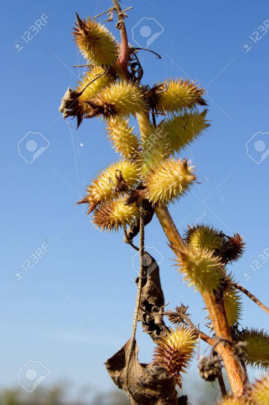 The cocklebur (Xanthium strumarium), a hardy weed stubble