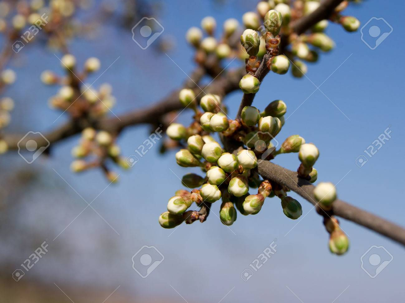 The First Wild Plum Spring Flower Buds Stock Photo Picture And
