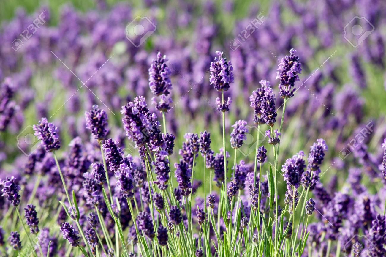 Spring, summer opening of lavender (Lavandula angustifolia). - 60874140