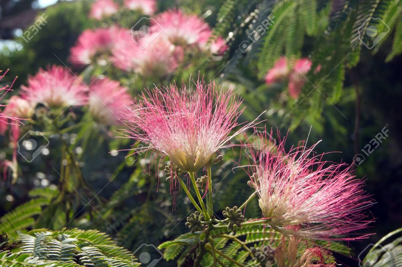 The persian silk tree albizia julibrissin flower stock photo the persian silk tree albizia julibrissin flower stock photo 63777505 mightylinksfo