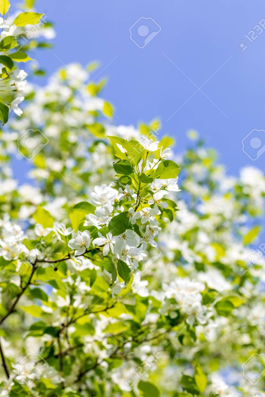 Apple tree flowers on sunny spring day. - 147001033