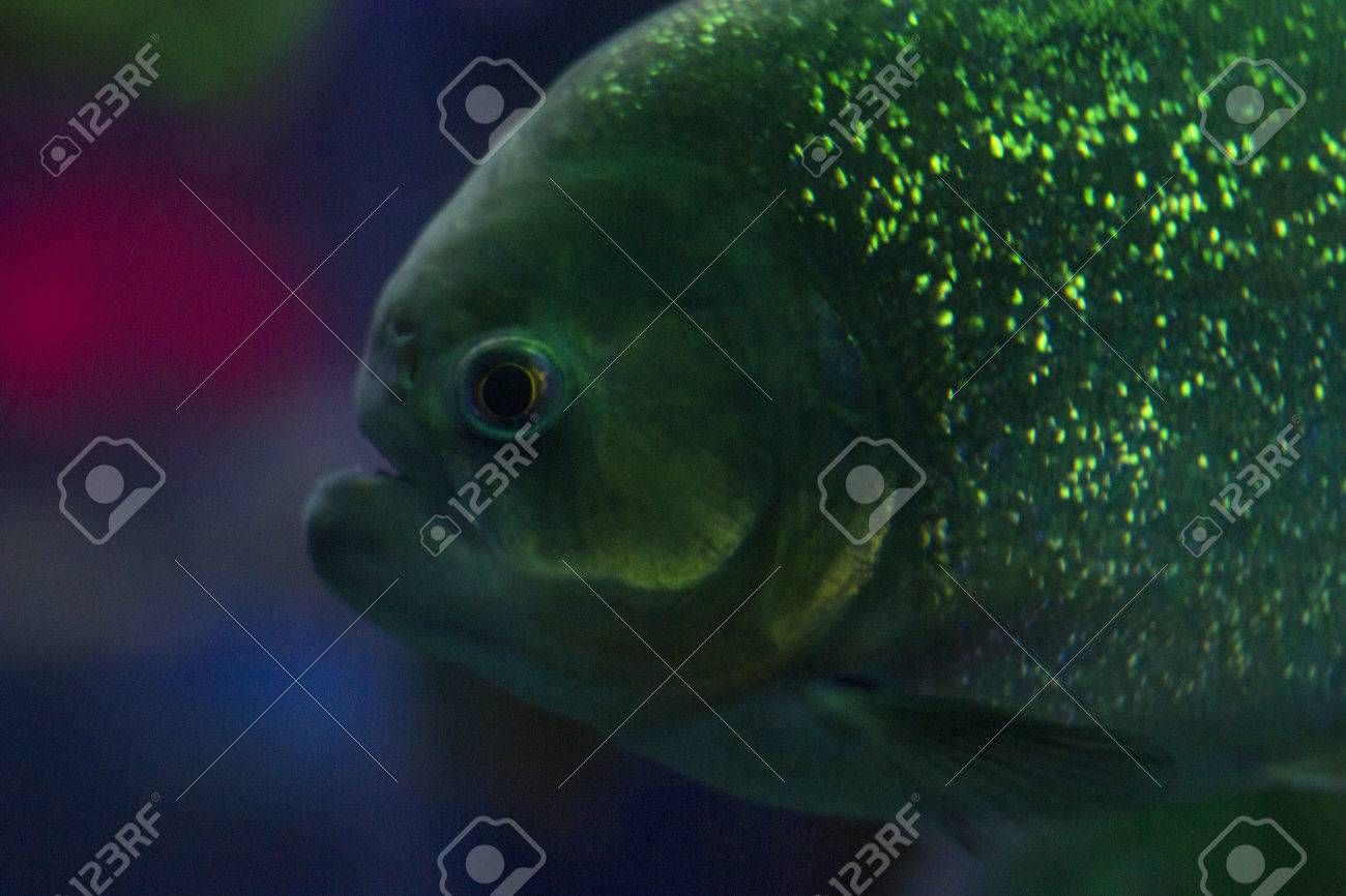 A Lot Of Colored Lights In An Aquarium With Fish. Piranha In.. Stock ...
