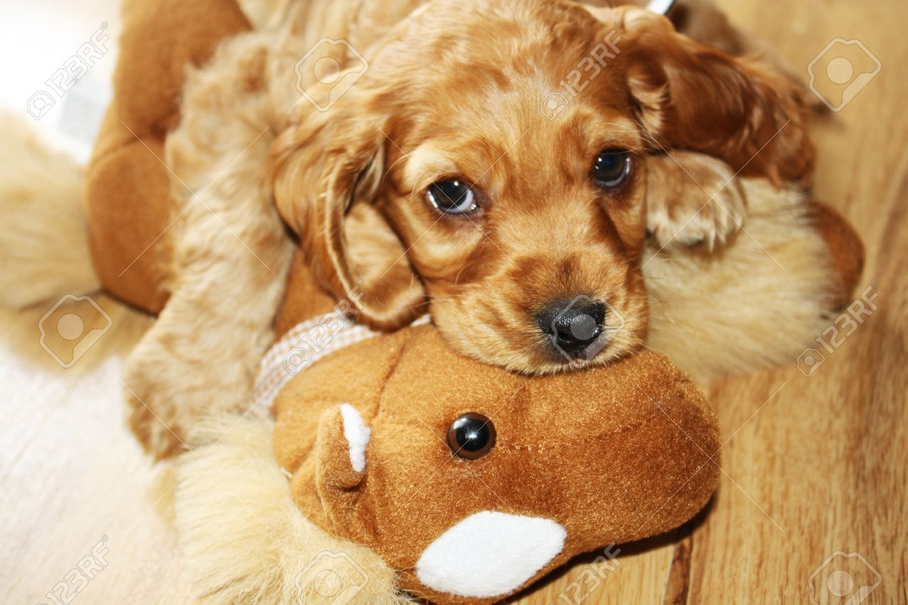 English Cocker Spaniel Puppy With Toy Stock Photo Picture And Royalty Free Image Image 18035140
