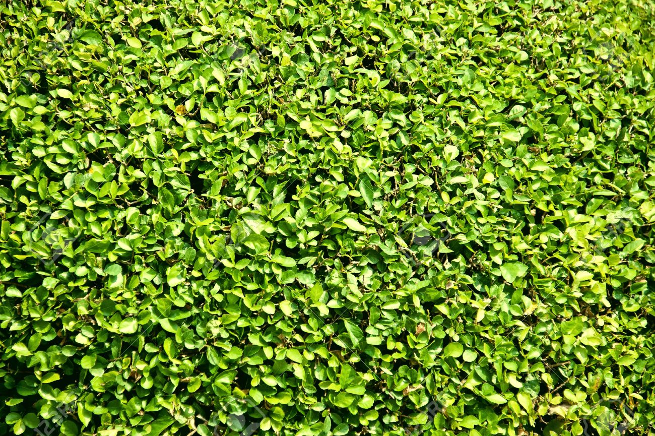 Texture Of Leaves Of Bush In The Garden Stock Photo Picture And