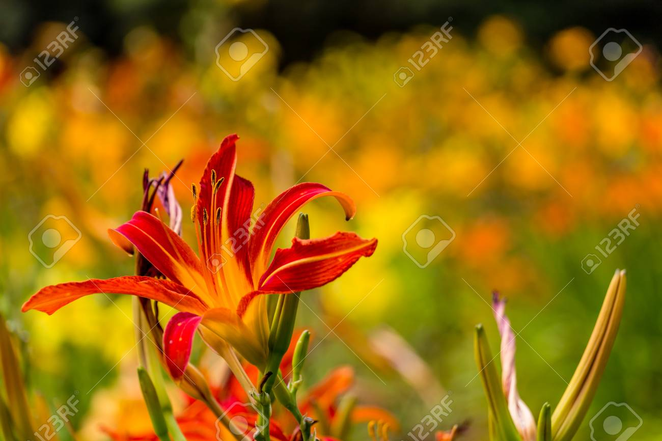 Beautiful red and yellow day lily flower stock photo picture and beautiful red and yellow day lily flower stock photo 43092213 izmirmasajfo