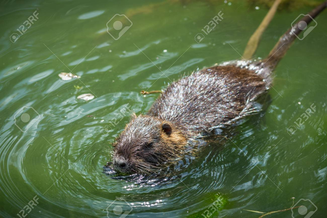 adult beaver eating a plant beaver in a lake beaver in water Beaver in Pushing Water adult beaver eating a plant beaver in a lake beaver in water in the