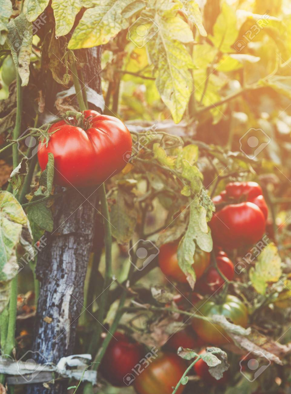 Organic Tomatoes In A Greenhouse. Garden Fresh Red Ripe Tomatoes ...