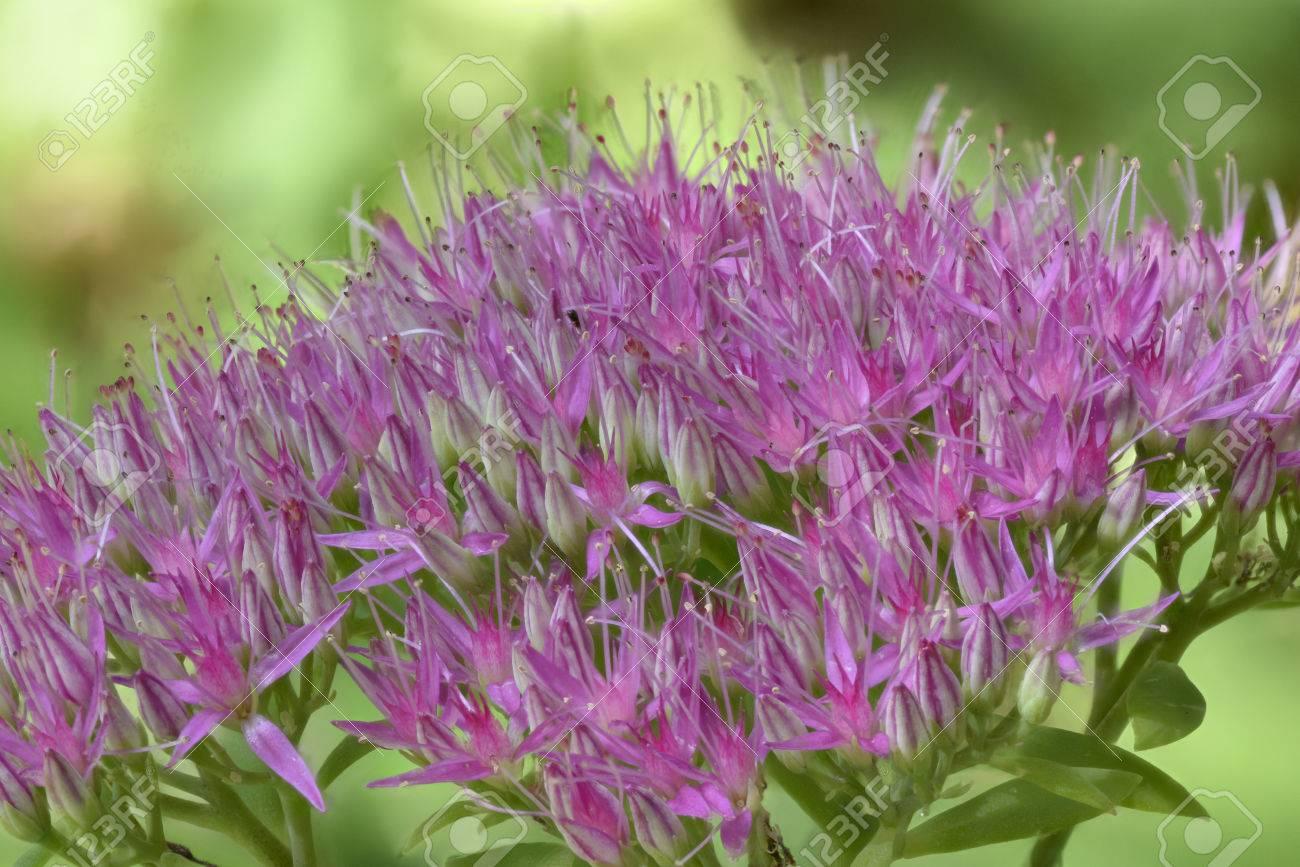 Sedum Spectabilis Sedum Spectabile Closeup Macro Of Pink Stock