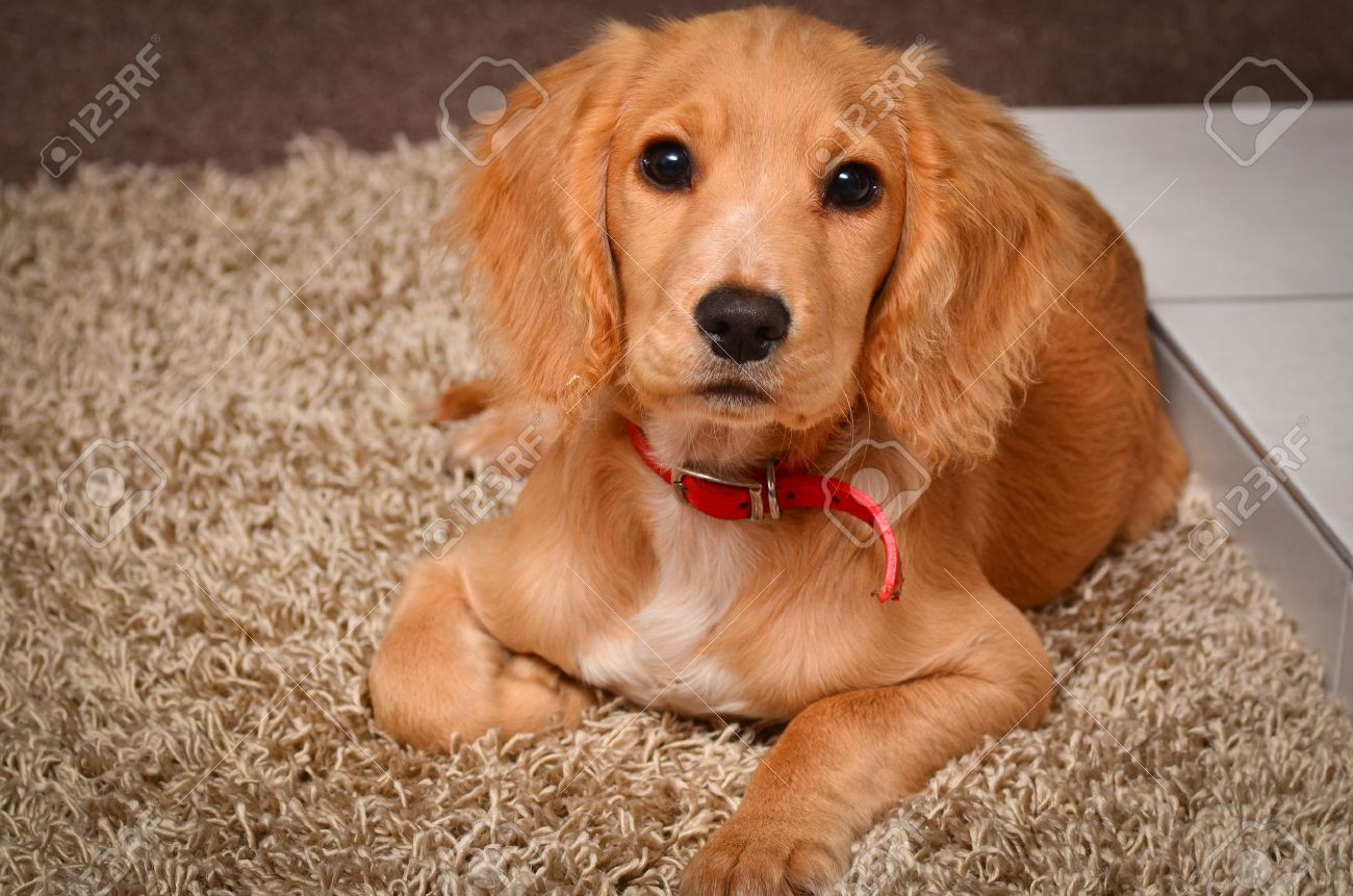 Golden English Working Cocker Spaniel Stock Photo Picture And Royalty Free Image Image 51283939