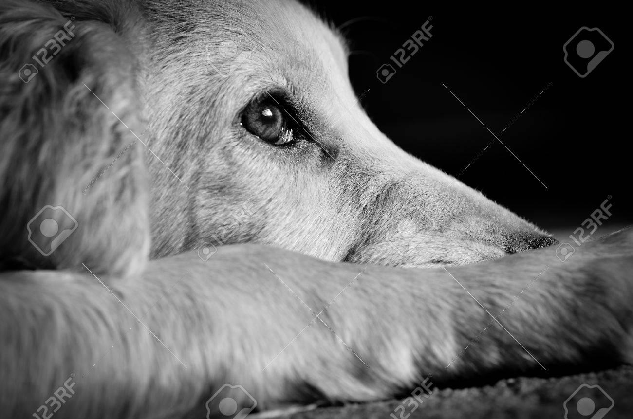 Cocker spaniel pup looking very sad - 52350365