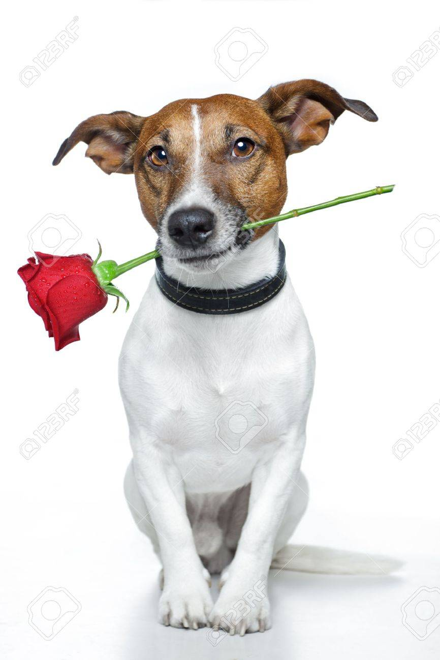 dog with a red rose Stock Photo - 11993906