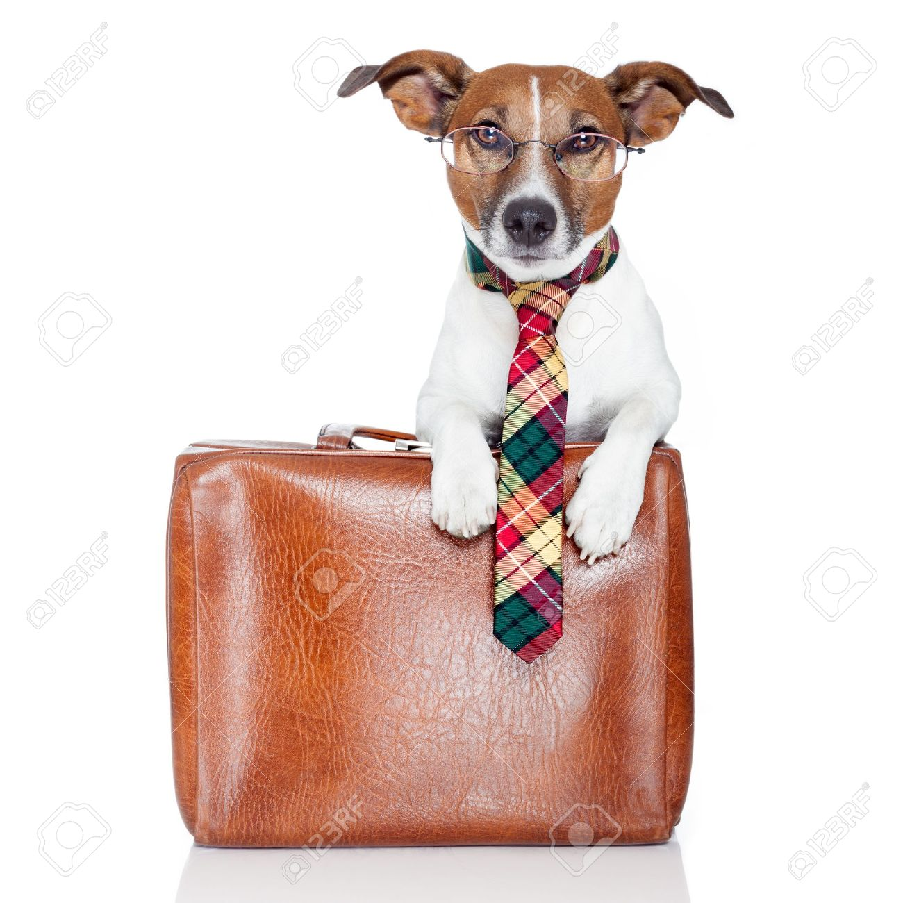 dog with leather bag Stock Photo - 13522086