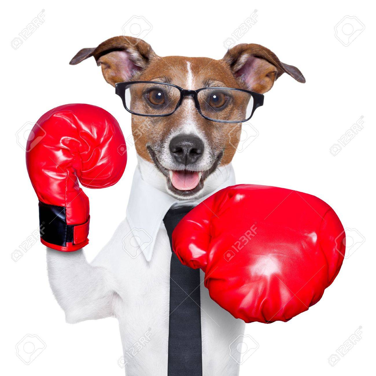 Boxing business dog punching towards camera with red boxing gloves Stock Photo - 19294025