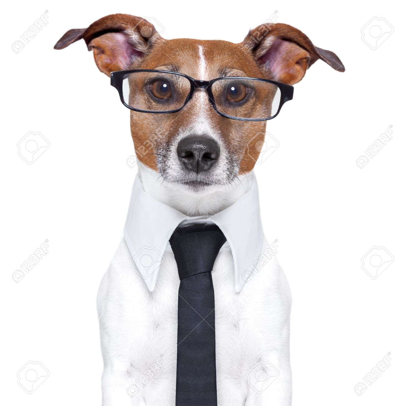 business dog with a tie and glasses Stock Photo - 19405281
