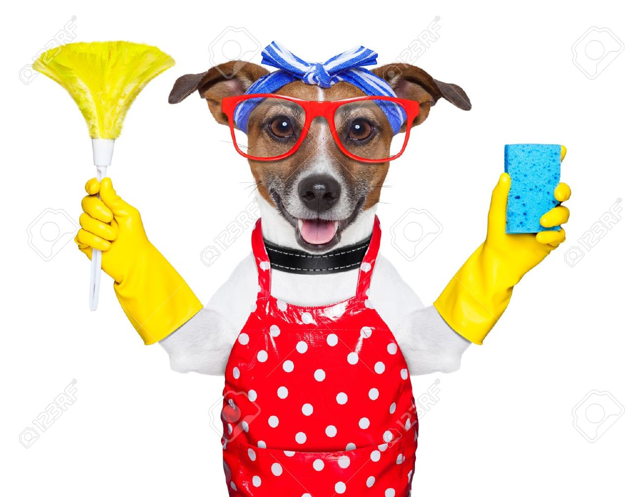 housewife dog with rubber gloves and a feather duster - 20313836