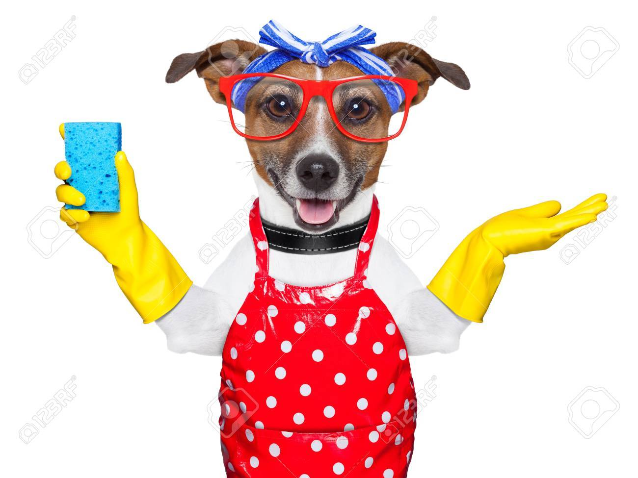 housewife dog with rubber gloves and a blue sponge Stock Photo - 20313828