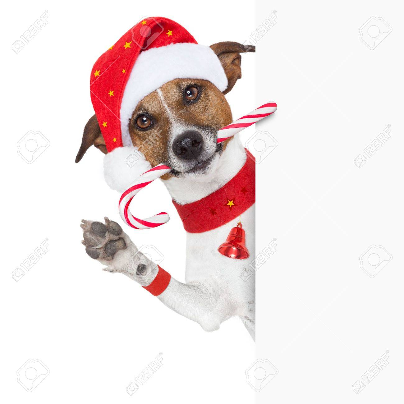 Christmas Dog As Santa Behind Placard With Sugar Candy Cane Stock Photo    21377312