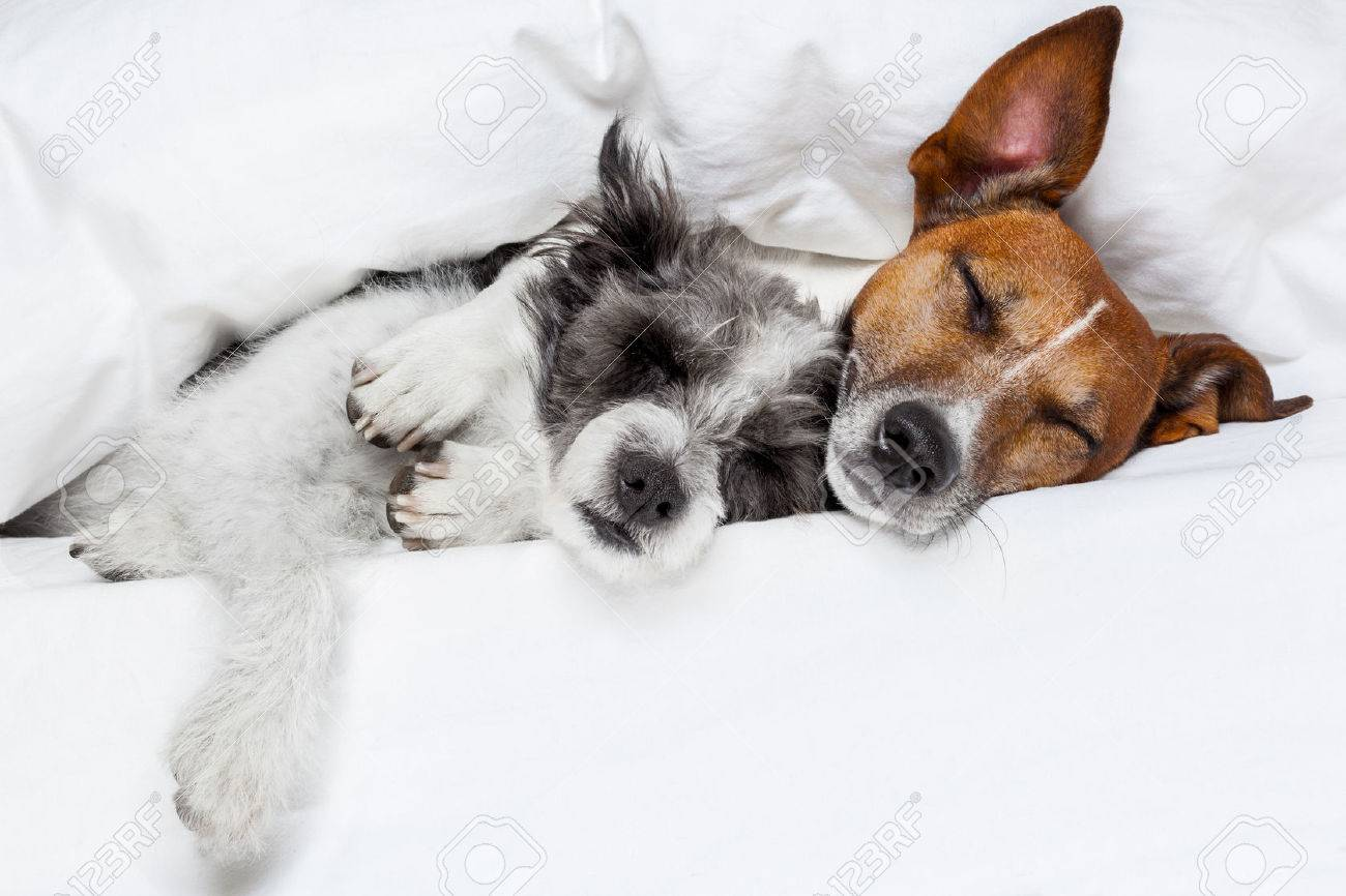 Две собаки сонник