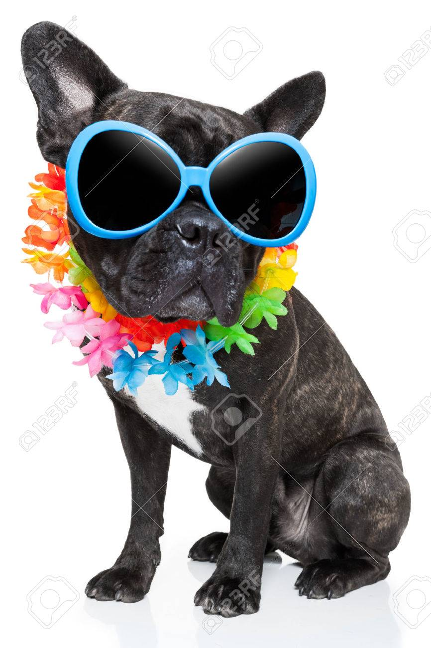 0d93dcd2ba837 Banque d images - Chien en vacances des lunettes de soleil de fantaisie et  de la chaîne de fleur drôle