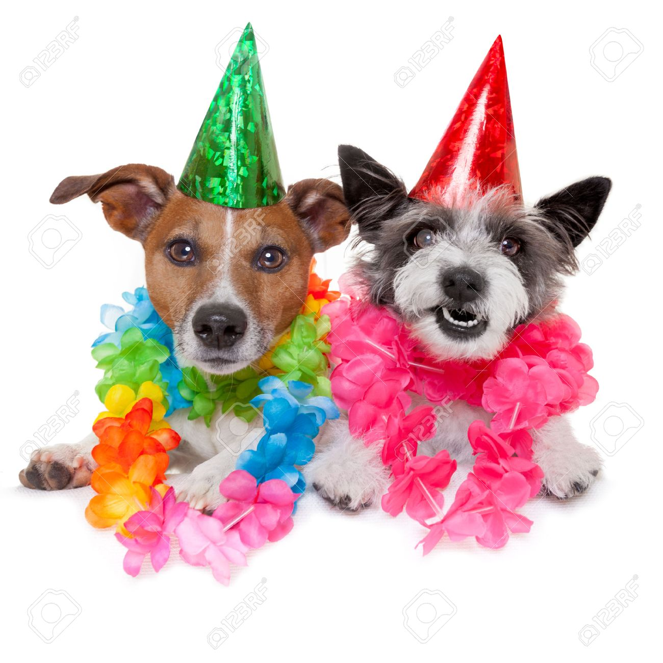 Two Funny Birthday Dogs Celebrating Close Together As A Couple Stock
