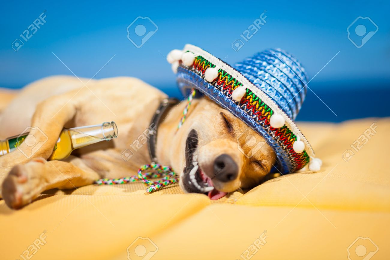drunk chihuahua dog having a siesta with crazy and funny silly face - 28835441