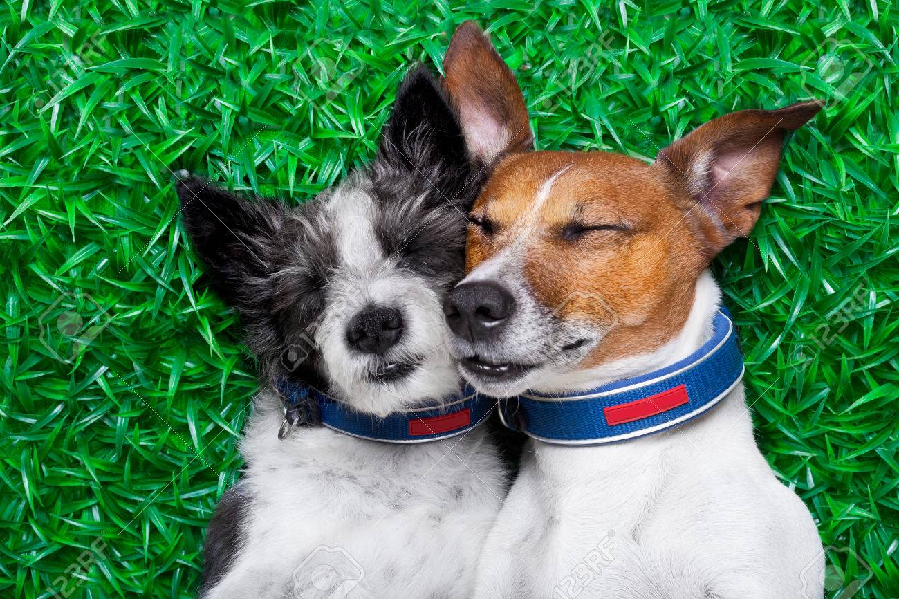 30507570-couple-of-dogs-in-love-very-close-together-lying-on-grass-in-the-park-Stock-Photo - Canines in love - Photos Unlimited