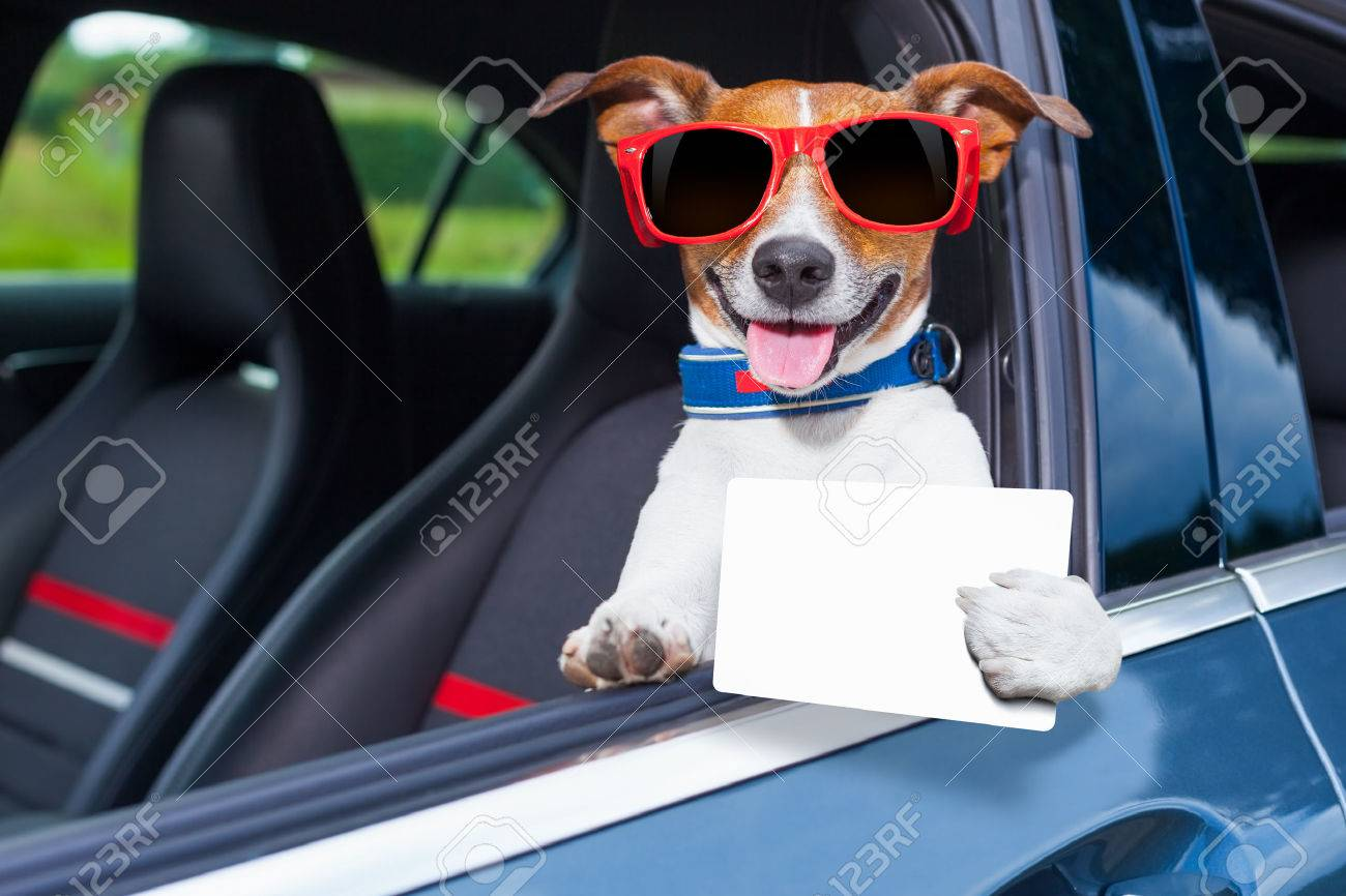 Dog Leaning Out The Car Window Showing A Blank And Empty Drivers License Stock Photo