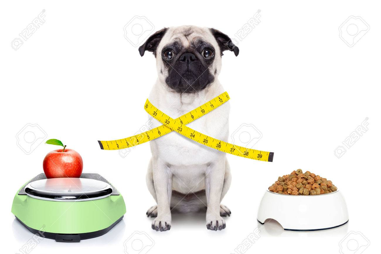 Healthy pug dog beside a scale bowl and measuring tape around healthy pug dog beside a scale bowl and measuring tape around waist isolated on white nvjuhfo Images