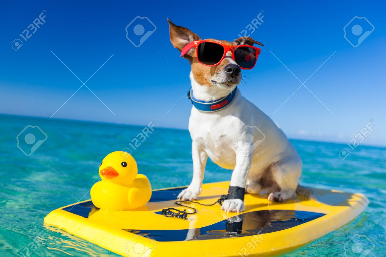 dog surfing on a surfboard wearing sunglasses with a yellow plastic rubber duck, at the ocean shore - 32760070