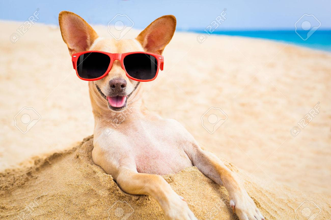 cool chihuahua dog at the beach wearing sunglasses - 32316507