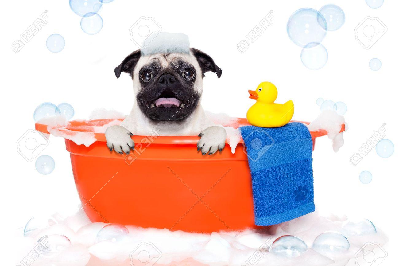 Mops Hund In Einer Badewanne Nicht So Amüsiert Darüber Mit Gelben