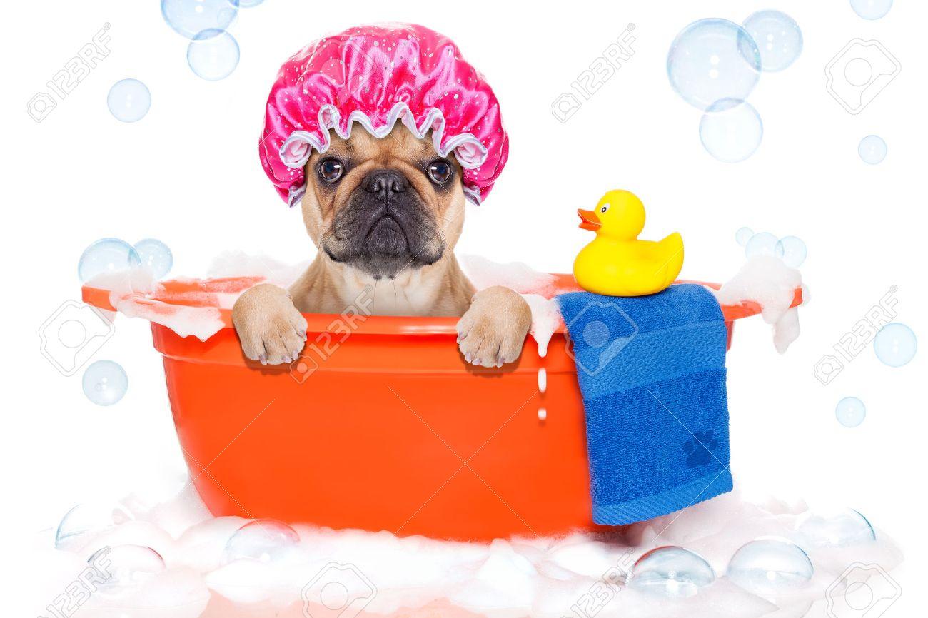 Vasca Da Bagno Francia : Cane bulldog francese in una vasca da bagno non così divertito a