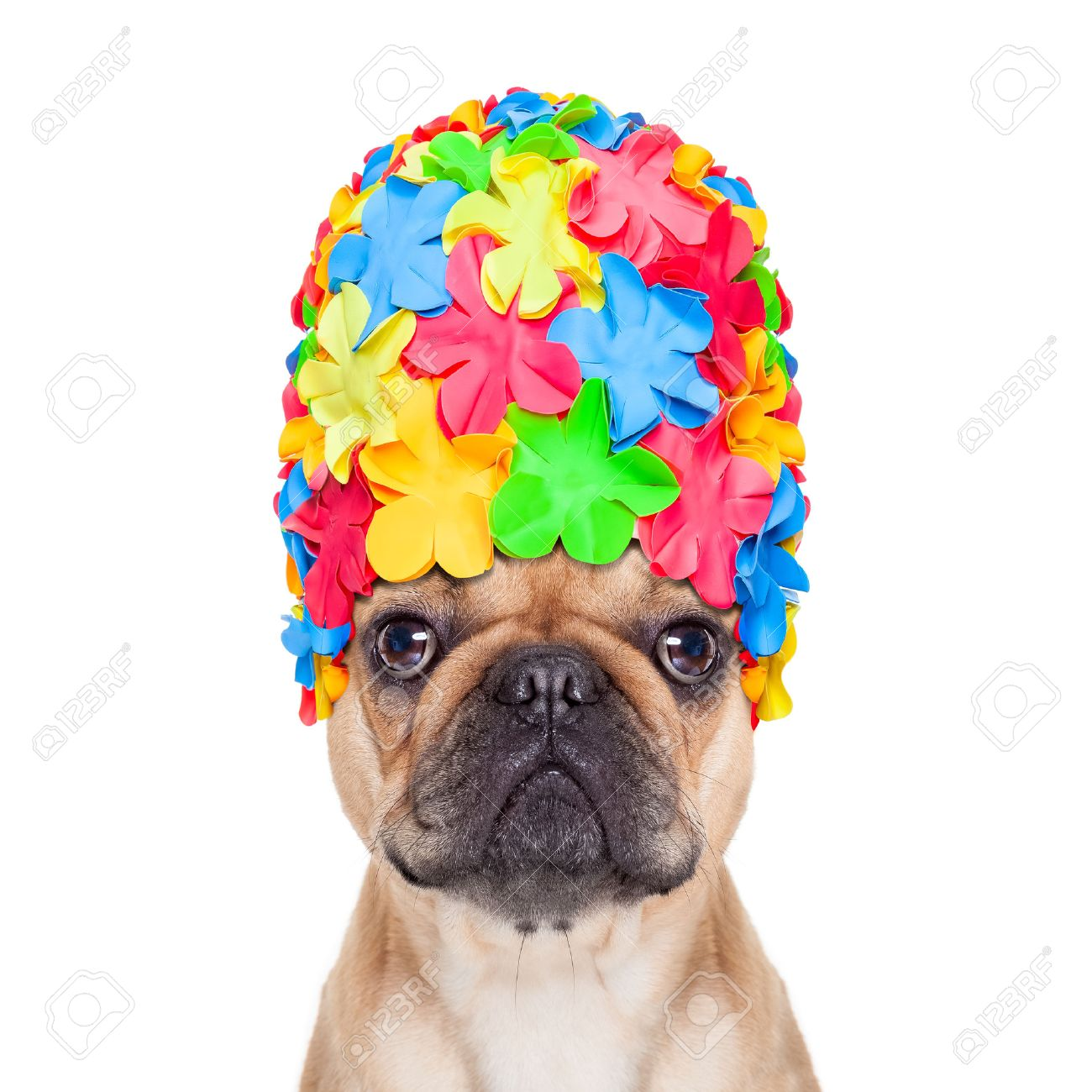 64167bd23020d1 ... isolated on white background. french bulldog dog wearing a bathing or swimming  cap ready to enjoy the summer vacation holidays