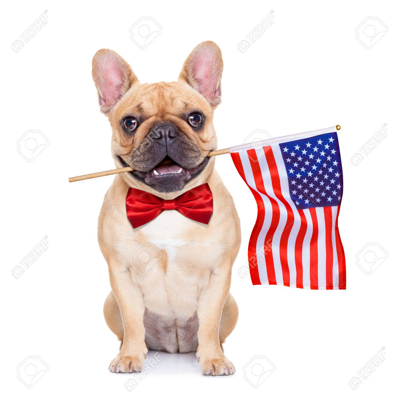 french bulldog  holding a flag of usa on independence day on 4th  of july Stock Photo - 41039310