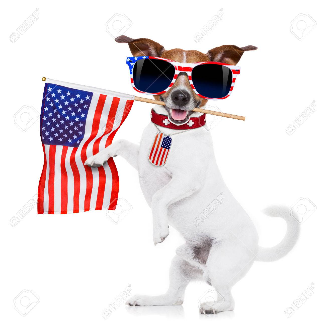 jack russell dog  holding a flag of usa on independence day on 4th  of july  with mouth  isolated on white background wearing american sunglasses Stock Photo - 41234138