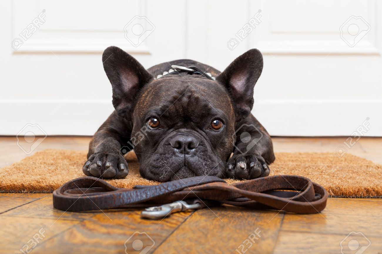 french bulldog dog waiting and begging to go for a walk with owner , sitting or lying on doormat Stock Photo - 41699701
