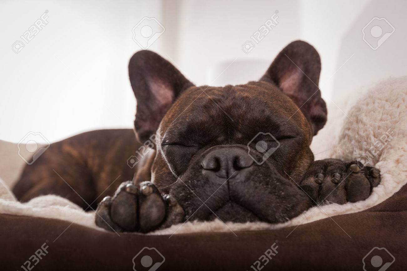 french bulldog dog having a sleeping and  relaxing a siesta in living room Stock Photo - 41699723