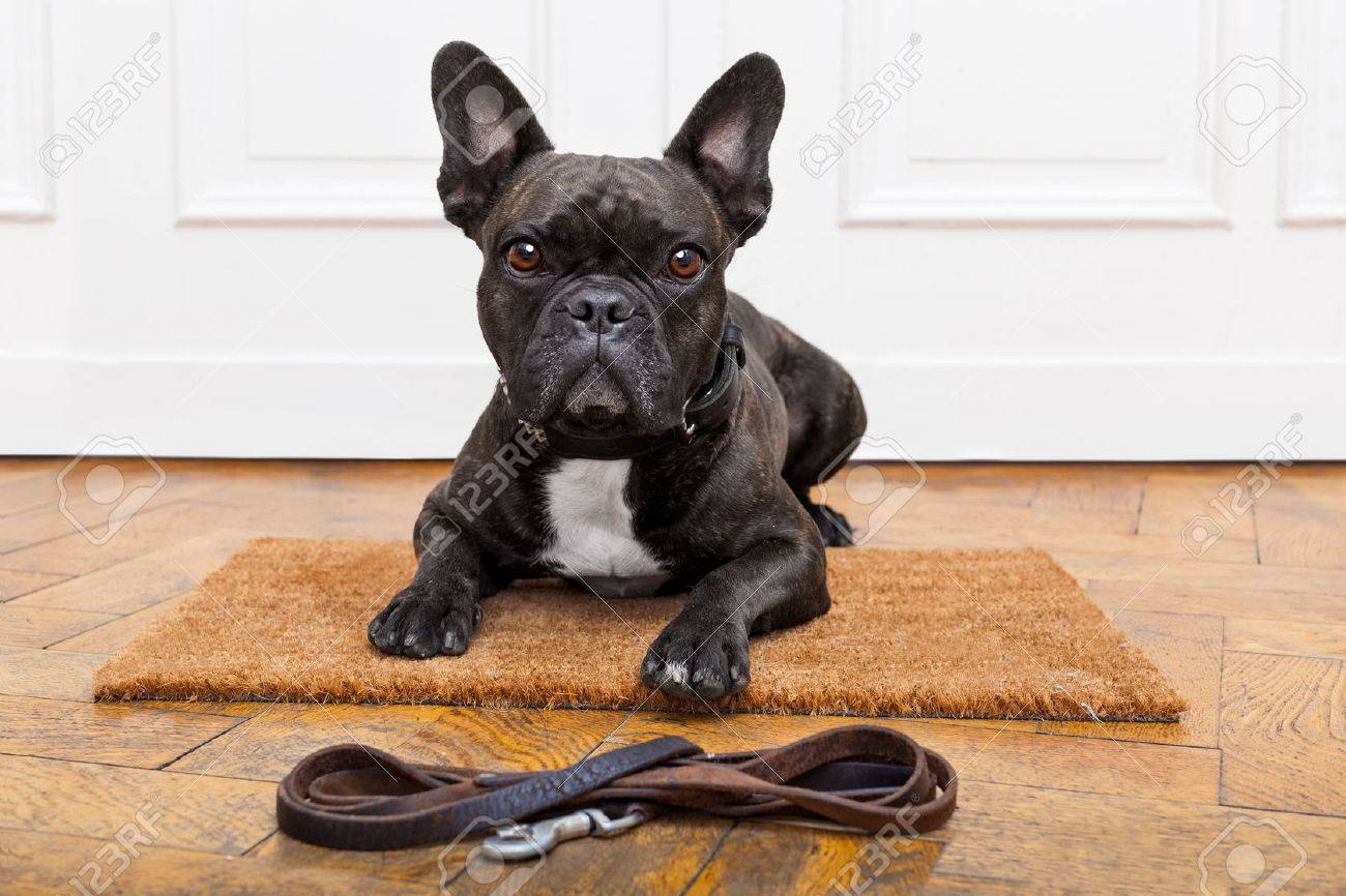 french bulldog dog waiting and begging to go for a walk with owner , sitting or lying on doormat Stock Photo - 41699759