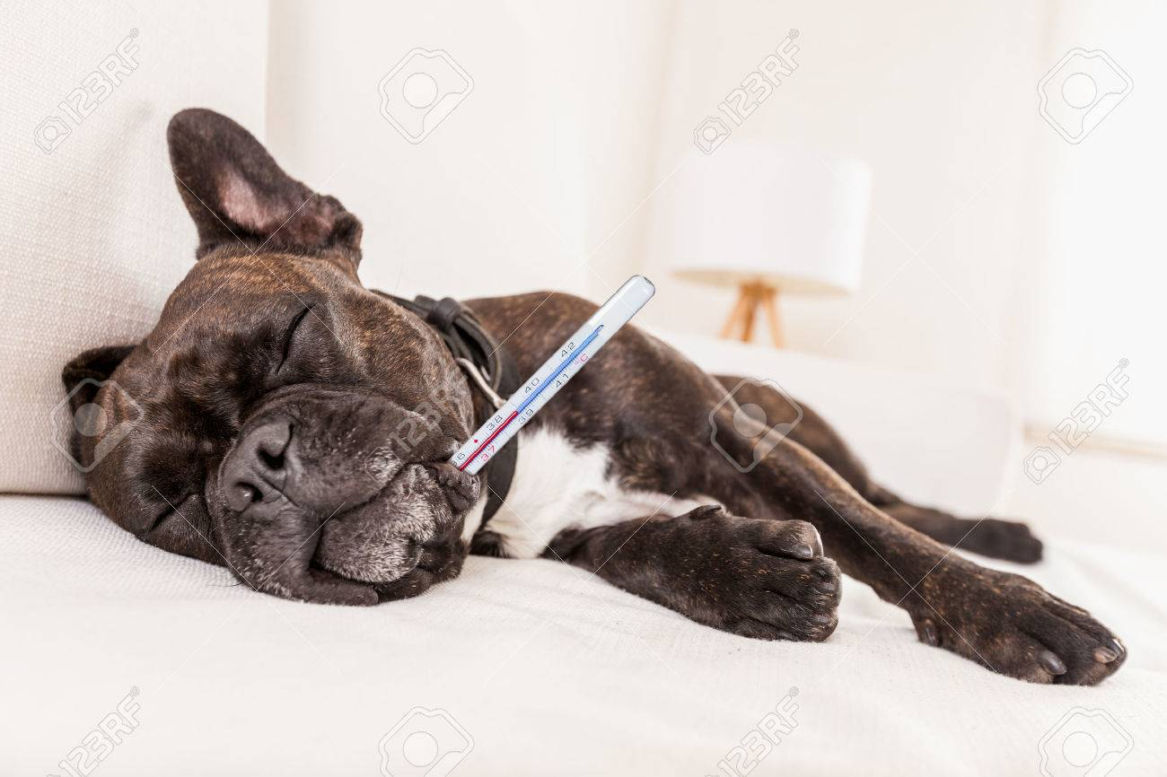 french bulldog dog having a hangover or feeling very sick and ill with temperature , thermometer in mouth showing fever Stock Photo - 41764866