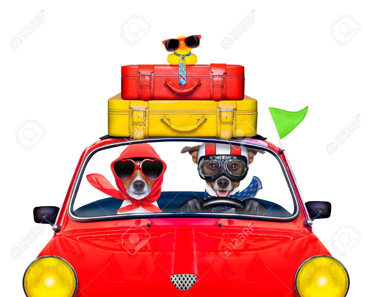 couple of jack russell just married dogs driving a car for summer vacation holidays or honeymoon , isolated on white background, stack of luggage or bags on top Stock Photo - 41763444