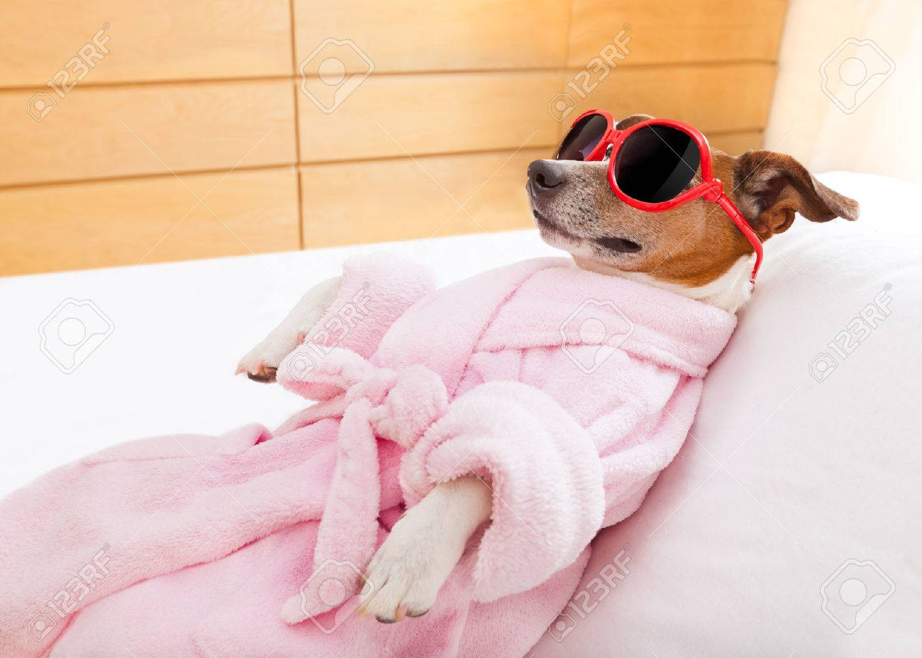 jack russell dog relaxing  and lying, in   spa wellness center ,wearing a  bathrobe and funny sunglasses Stock Photo - 41763465