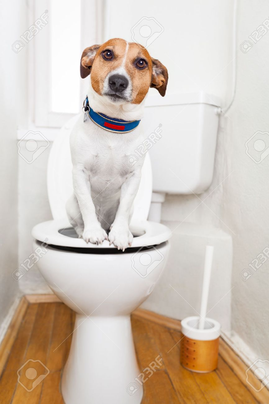 jack russell terrier, sitting on a toilet seat with digestion problems or constipation looking very sad Stock Photo - 42736931