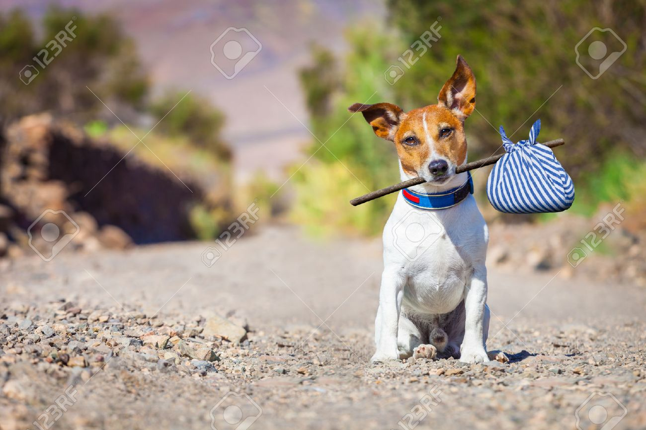 jack russell dog abandoned and left all alone on the road or street, with luggage bag  , begging to come home to owners, Stock Photo - 43517879