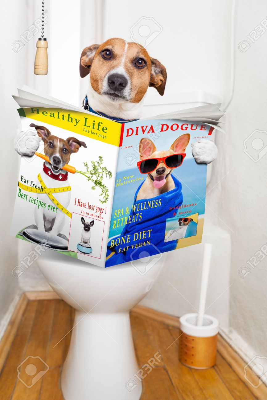 jack russell terrier, sitting on a toilet seat with digestion problems or constipation reading the gossip magazine or newspaper Stock Photo - 43517944