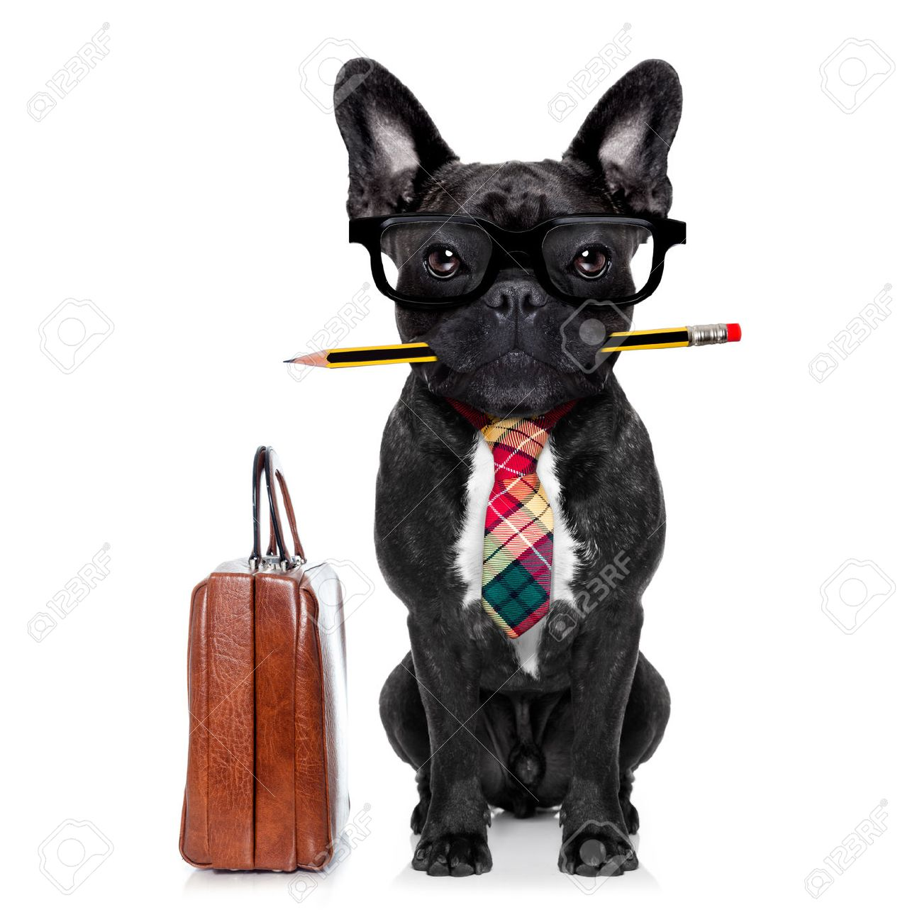 office businessman french bulldog dog with pen or pencil in mouth with bag or suitcase isolated on white background Stock Photo - 43805963