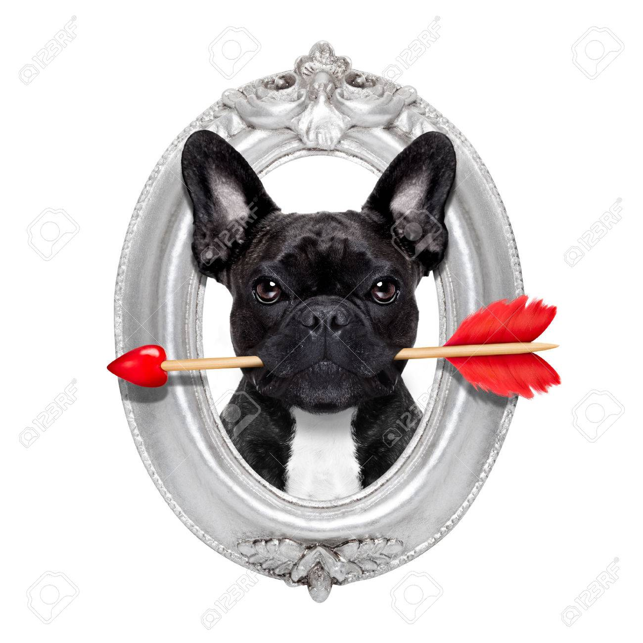 valentines french bulldog dog in love holding a cupids arrow with mouth in a retro wood frame isolated on white background Stock Photo - 43805976