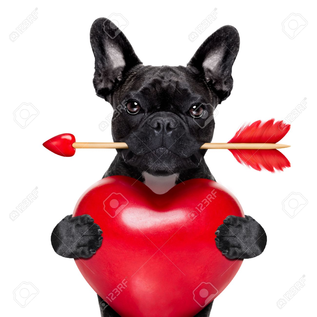 valentines french bulldog dog in love holding a cupids arrow with mouth and holding a big heart, isolated on white background Stock Photo - 43805985