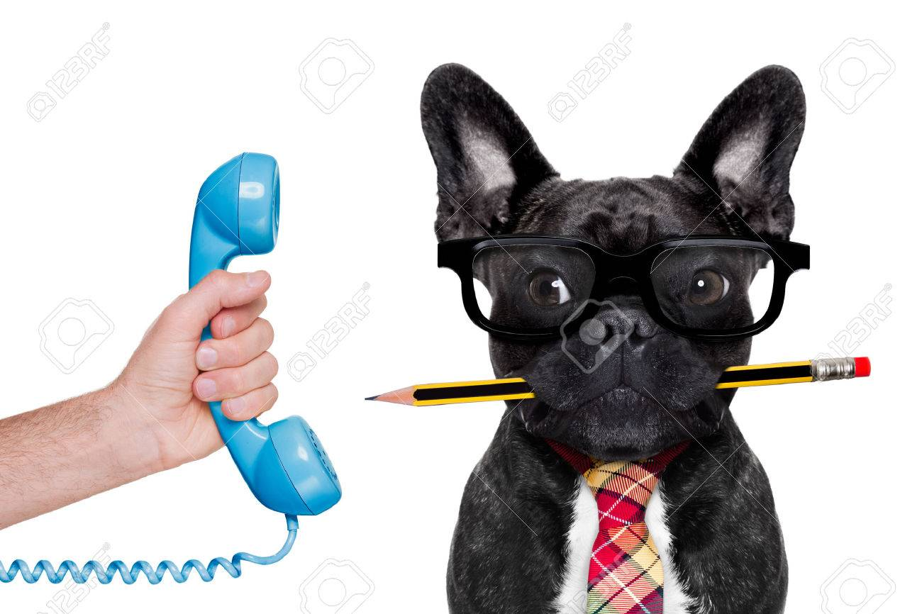 office businessman french bulldog dog with pen or pencil in mouth ,on the phone ,   isolated on white background Stock Photo - 43806000
