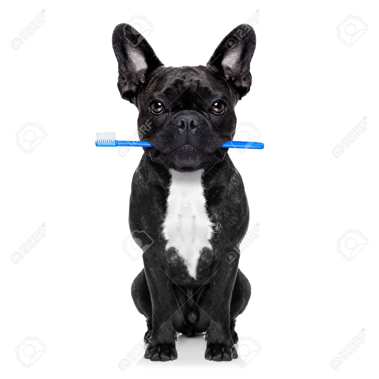 french bulldog dog holding toothbrush with mouth at the dentist or dental veterinary, isolated on white background Stock Photo - 44964438